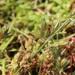 Juncus hybridus - Photo (c) mjcorreia, todos los derechos reservados