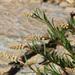 Sesamoides suffruticosa - Photo (c) mjcorreia, todos los derechos reservados