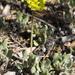 Eriogonum arcuatum - Photo (c) Cody Hough, כל הזכויות שמורות