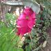 Pitahaya - Photo (c) jimwatana, todos los derechos reservados