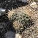 Ancistrocactus brevihamatus - Photo (c) tuff13, todos los derechos reservados