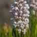 Spatalla curvifolia - Photo (c) Chris Whitehouse, todos los derechos reservados