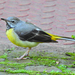 Grey Wagtail - Photo (c) Valter Jacinto, all rights reserved