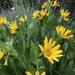 Wyethia amplexicaulis - Photo (c) sfuller11, todos los derechos reservados