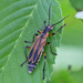 Margined Leatherwing Beetle - Photo (c) Bill Keim, all rights reserved