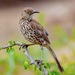 Gray Thrasher - Photo (c) Bill Levine, all rights reserved