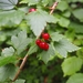 Mountain Currant - Photo (c) Vireloup, all rights reserved