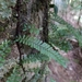 Arthropteris beckleri - Photo (c) Connor Hawey, all rights reserved