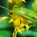 Northern Corn Rootworm - Photo (c) larry522, all rights reserved, uploaded by Larry Clarfeld