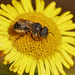 Spined Mason Bee - Photo (c) Henk Wallays, all rights reserved