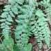 Woolly Lipfern - Photo (c) May B Knot, all rights reserved