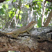 Silver Key Anole - Photo (c) lacey underall, all rights reserved
