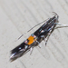 Cosmopterix - Photo (c) treichard, todos los derechos reservados, uploaded by Timothy Reichard