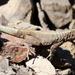 Microlophus tarapacensis - Photo (c) Michael Weymann, todos los derechos reservados