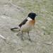 Saxicola maurus stejnegeri - Photo (c) WK Cheng, todos los derechos reservados