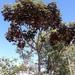 Didymopanax macrocarpus - Photo (c) Laurent Quéno, all rights reserved