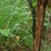 Rhaphiderus spiniger - Photo (c) Daniel Lane, todos los derechos reservados