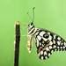 Papilio demoleus - Photo (c) Aniruddha Singhamahapatra, kaikki oikeudet pidätetään