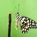 Lime Swallowtail - Photo (c) Aniruddha Singhamahapatra, all rights reserved