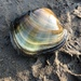 Higgins' Eye Pearly Mussel - Photo (c) jugiemart, all rights reserved