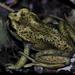 Alsodes valdiviensis - Photo (c) Michael Joachim Weymann, todos los derechos reservados