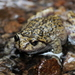 La Parva Spiny-chest Frog - Photo (c) Michael Joachim Weymann, all rights reserved