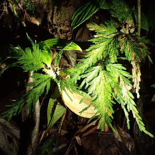 Selaginella arthritica image