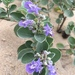 Vitex - Photo (c) juliette-luc-mai, all rights reserved