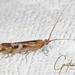 Limnephilus lunatus - Photo (c) Jan Grathwohl, todos los derechos reservados