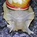 Giant South American Snail - Photo (c) Jay Keller, all rights reserved, uploaded by Jay L. Keller