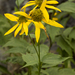 Rudbeckia laciniata - Photo (c) Layla, כל הזכויות שמורות, uploaded by Layla Dishman