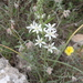 Ornithogalum narbonense - Photo (c) naturalist, todos los derechos reservados, uploaded by naturalist