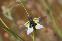 Libelloides baeticus - Photo (c) EBIOPT, todos los derechos reservados