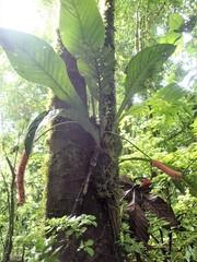 Anthurium consobrinum image