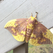 Pine Imperial Moth - Photo (c) Jonah Evans, all rights reserved