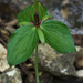 Trillium viridescens - Photo (c) Eric in SF, כל הזכויות שמורות, uploaded by Eric Hunt