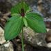 Trillium viridescens - Photo (c) Eric in SF, todos los derechos reservados, uploaded by Eric Hunt