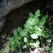 Adiantum philippense - Photo (c) Chen Meng Tzu, all rights reserved