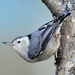 White-breasted Nuthatch - Photo (c) U.S. Fish and Wildlife Service Northeast Region, some rights reserved ()