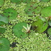 American Frogbit - Photo (c) Tony Gerard, all rights reserved