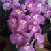 Miltoniopsis vexillaria - Photo (c) Julián Berrío Herrera, todos los derechos reservados