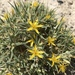 Torrey's Blazing Star - Photo (c) dmgrevenkamp, all rights reserved
