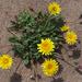 Agoseris apargioides - Photo (c) Eric in SF, todos los derechos reservados, uploaded by Eric Hunt