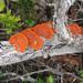 Pycnoporus sanguineus - Photo (c) lacey underall, todos los derechos reservados