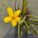 Estrella Amarilla de Agua - Photo (c) Juan Carlos Garcia Morales, todos los derechos reservados