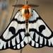 Sagebrush Sheep Moth - Photo (c) jmrobertia, all rights reserved