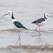Pied Stilt - Photo (c) Rolf Lawrenz, all rights reserved