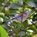 Blue-winged Minla - Photo (c) Timothy Bonebrake, all rights reserved, uploaded by Papilionoidea