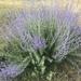 Salvia yangii - Photo (c) shorak, όλα τα δικαιώματα διατηρούνται