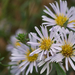 Pacific Aster - Photo (c) Eric in SF, all rights reserved, uploaded by Eric Hunt
